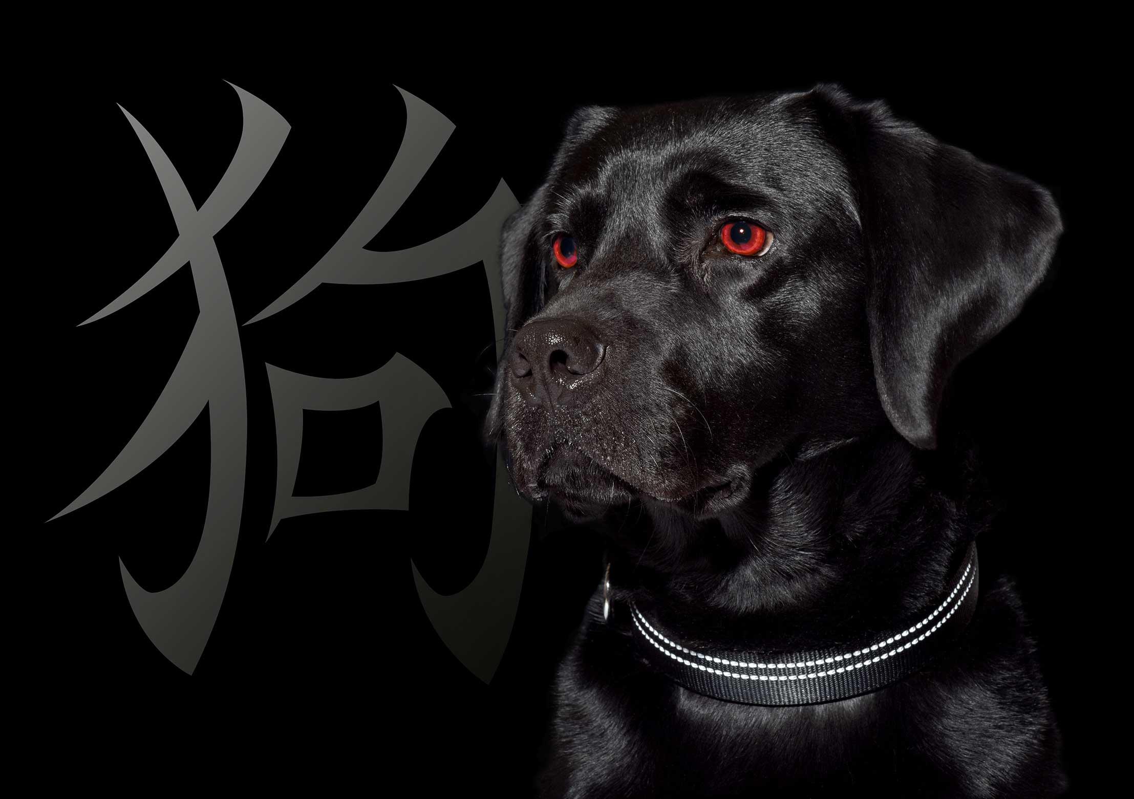 Black Labrador k9 dog