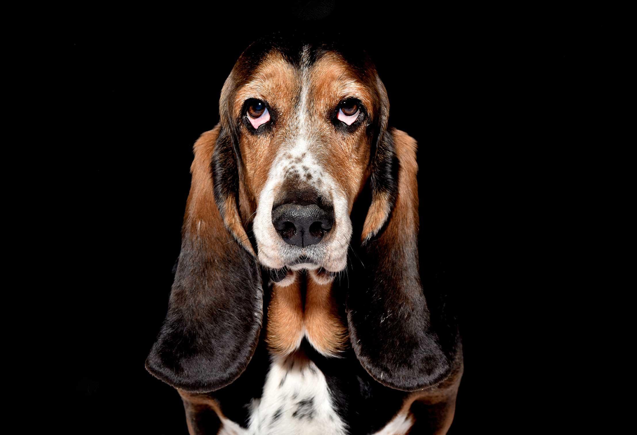 Basset Hound K9 Dog