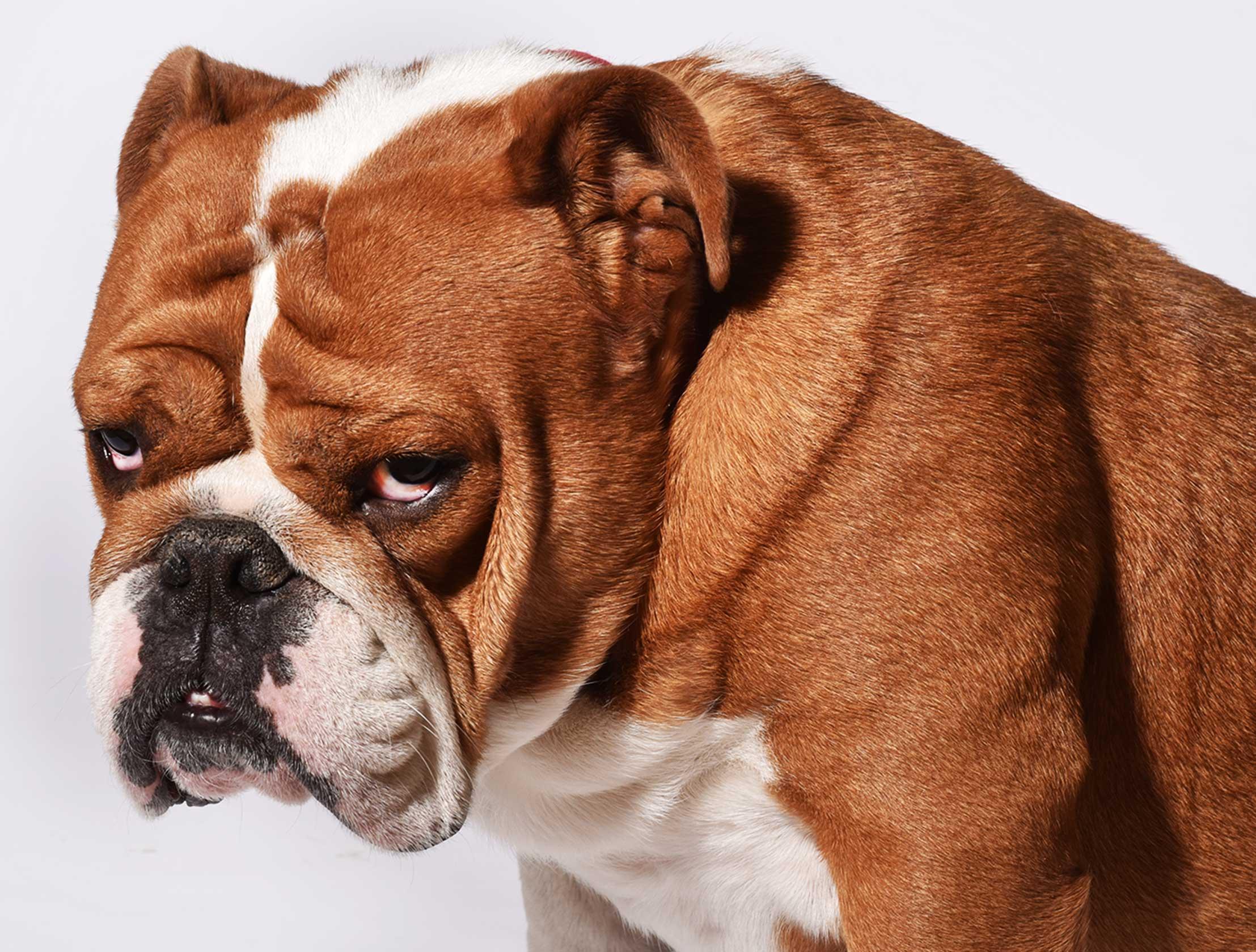 English Bulldog K9